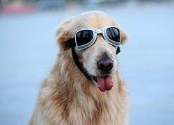Pet Leso® Dog Square Goggles Large Pet Stylish Sunglasses UV Protection Sun Glasses, Golden Retriever Goggles