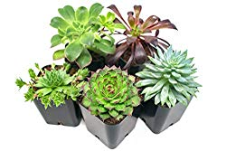 Succulent Plants (5 Pack), Fully Rooted in Planter Pots with Soil –  Real Live Potted Succulents / Unique Indoor Cactus Decor by Plants for Pets